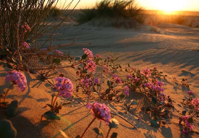 pink-desert-flowers copy